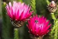 Phaenocoma prolifera flower, Heuningberg Nature Reserve, Bredasdorp, Western Cape, South Africa