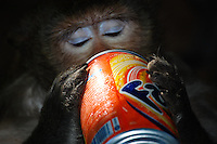 Monkey drinking Fanta Natural sc Monkey at Wat Phnom