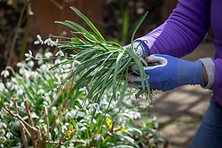 Dividing and replanting clumps of Galanthus nivalis - Snowdrops - whilst they are still 'in the green'