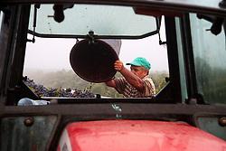 Brindisi-Contrada Jaddico - 18/09/2010 .Percorrendo la strada statale 379, 8 km a nord di Brindisi, uscita Contrada Jaddico poco distante dal mare Adriatico, si giunge ai vigneti ?Tenuta Jaddico? di proprietà della famiglia Rubino, fondatrice nella metà degli anni '80 dell'azienda vinicola ?Tenute Rubino?..I vigneti di questa tenuta si sviluppano con sistema a spalliera e si estendono per 50 ettari. Nel mese di Settembre, a volte fino ad Ottobre, avviene la raccolta delle uve mature: Primitivo, Negroamaro, Malvasia nera e Susumaniello..Come vuole la tradizione, la vendemmia viene svolta da donne salentine che si tramandano il duro ma gioioso compito di generazione in generazione..L'epoca della vendemmia caratterizza particolarmente questo paesaggio: i campi sono popolati dalle donne della vendemmia che, con cesoie alla mano e ceste al seguito, si dispiegano fra i filari delle vigne, tagliano con cura, precisione e velocità i grappoli d'uva e intonano canti tipici popolari..In effetti, la raccolta dell'uva nel Salento è sempre stata compito delle donne, per ragioni di organizzazione sociale e per cultura contadina..Mentre, forti braccia maschili sollevano le pesanti ceste e le svuotano in un grande cassone che, colmo di grappoli d'uva, viene trainato da un trattore verso un grande autocarro che trasporterà il raccolto in cantina, dove si procederà alla lavorazione dell'uva. .