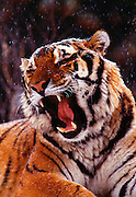 spectacular-wildlife-photo-decor-by-world-travel-photographer-randy-wells-videographer-filmmaker-cinematographer-storyteller-writer-location-and-studio-specialist, Image of a growling sibertian tiger in the snow, property released