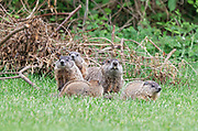 Groundhog Family time exploring together Mom and four babies