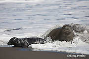 Hawaiian monk seal, Monachus schauinslandi ( Critically Endangered species, endemic to Hawaiian Islands  ), and two week old pup are covered in foam from incoming wave, Waimanu Valley, Hawaii Island ( Pacific Ocean )