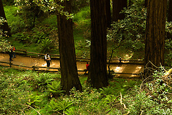 California: Muir Woods National Monument redwood tree environment, near San Francisco.  Photo copyright Lee Foster.  Photo # 33-casanf80988.   .