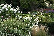 Nicotiana alata 'Grandiflora', Rosa possibly 'Iceberg'  and Salvia 'Hot Lips' - September