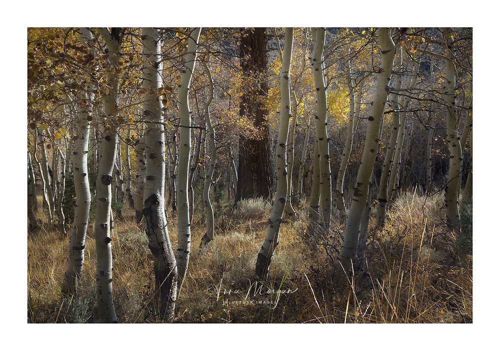 A lone pine among an aspen grove in autumn during some wonderful late afternoon light