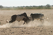 Two young bulls with excess levels of testosterone battle each other on a dry riverbed (wadi) in Eastern Chad. Wadis in this part of Chad are dry nine months of the year. During that time, villagers must dig down to the water, shoring up the wells with millet stalks to keep them from collapsing. In the morning, the wadis are furiously active. One after another, teams of two or three girls fill the pools as wave after wave of animals come to drink. It's hard work: the water rapidly evaporates, sinks into the sand, and vanishes down. The animals, and the girls have to keep refilling the pools. (Supporting image from the project Hungry Planet: What the World Eats.)