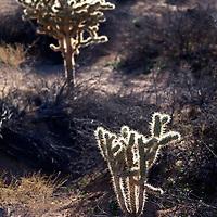 USA, California, Joshua Tree. Cholla of Hidden Valley.