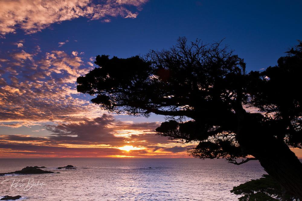 Cypress Tree (Cupressus macrocarpa) at sunset, Point Lobos State Reserve, Carmel, California