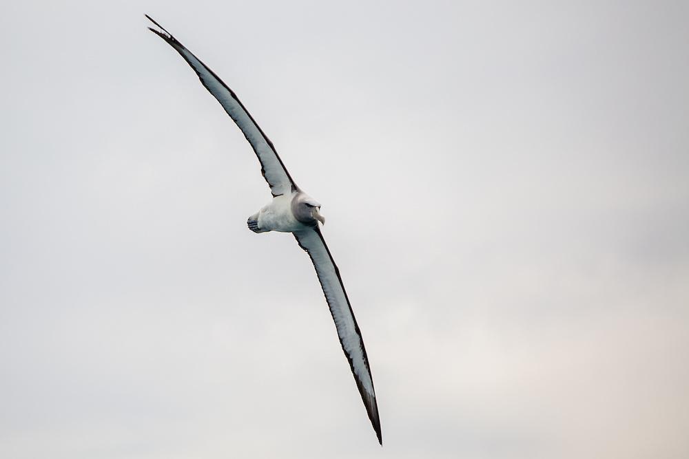 Albatross Portrait