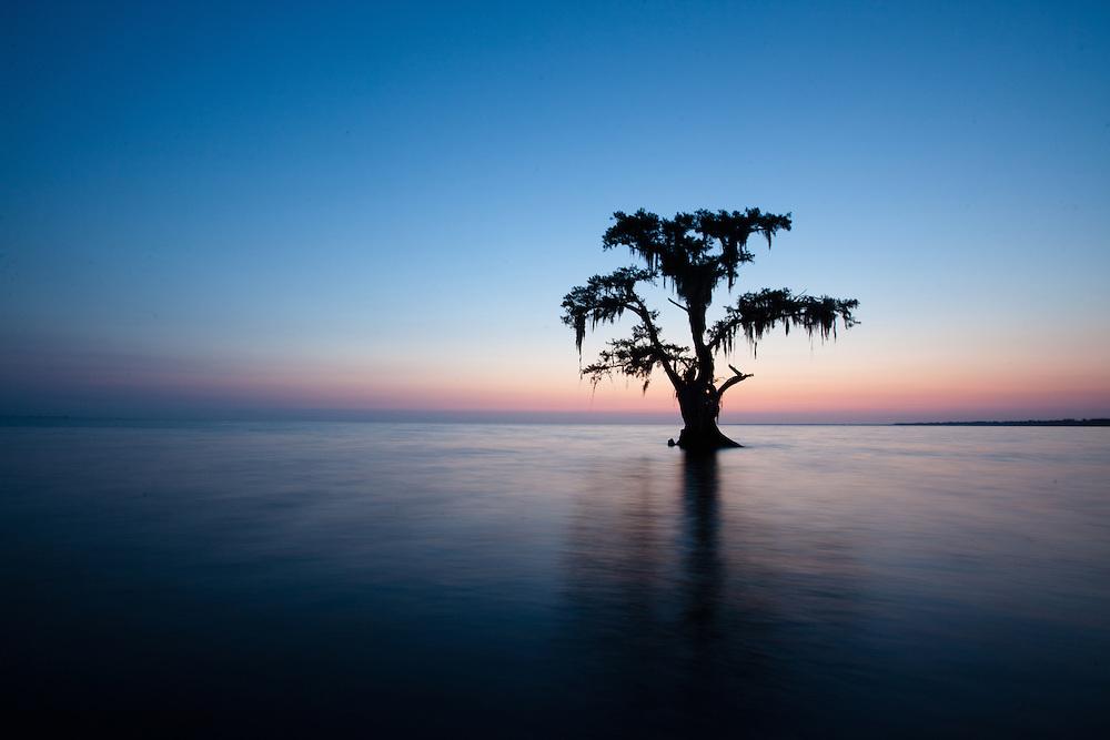 Cypress tree in silhouette at Lake Maurepas in southeastern Louisiana at sunrise. Lake Maurepas is a brackish tidal estuarine system.