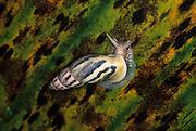 A tropical snail, cloud forest, Ecuador.