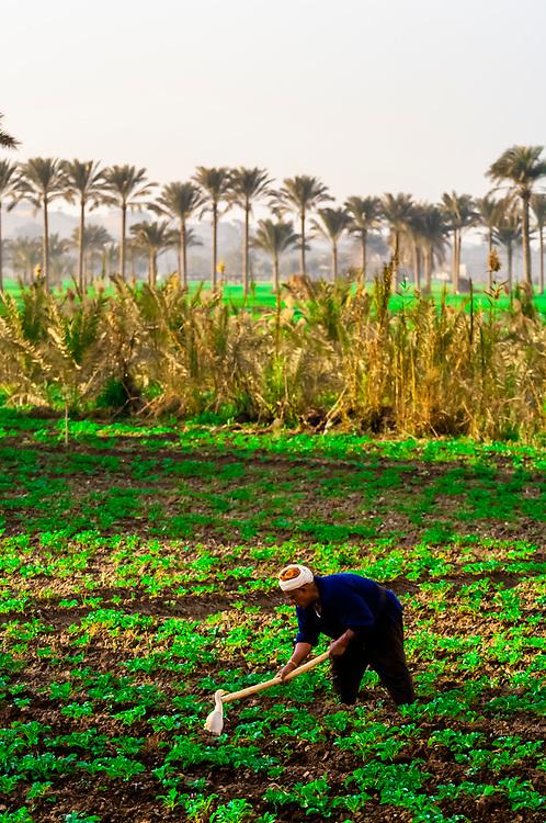 Egyptian farmer hoeing his field as a bird watches, Saqqara, Egypt