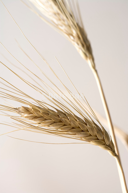 close up with two wheat heads