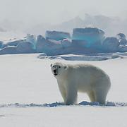 A female polar bear (Ursus maritimus) darted and weak from an immobilizing drug she received from Dr. Steve Amstrup, USGS biologist. Beaufort Sea, Alaska