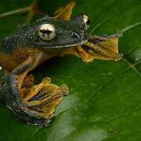 Wallace's Flying Frog (Rhacophorus nigropalmatus), male. Sarawak, Malaysia (Borneo).