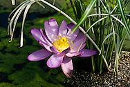 "Nymphaea Carpentaraie ""Julia Leu"" at Kew Gardens"