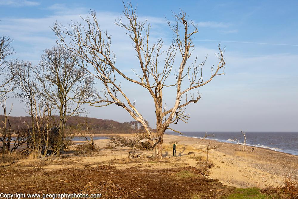 Benacre national nature reserve, North Sea coast, Suffolk, England, UK trees lost to coastal erosion