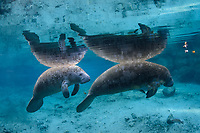 Another recent image from the 2017/2018 winter season. Manatee calves stay with their mothers for nearly two years and this calf is big enough to be near weaning. They learn everything from mom. Barnacles indicate this pair is a recent arrival to the freshwater springs. The barnacles will fall off in the fresh water environment and become food for anhinga and various other creatures. This is a peek at an undisturbed, natural behavior while this manatee winters in the clrat blue freshwater springs. Spring outflow and natural lighting sometimes blend in a lovely blue scene like this. Florida manatee, Trichechus manatus latirostris, a subspecies of the West Indian manatee, endangered. Three Sisters Springs, Crystal River National Wildlife Refuge, Kings Bay, Crystal River, Citrus County, Florida USA. IUCN Red List: Endangered. USFWS implemented downlisting to Threatened 2017: http://www.iucnredlist.org/details/22106/0. Taken under USFWS SUP Permit