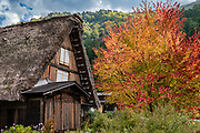 """Gassho-zukuri farmhouse and fall foliage colors. Ogimachi is the largest village and main attraction of the Shirakawa-go region, in Ono District, Gifu Prefecture, Japan. Declared a UNESCO World Heritage Site in 1995, Ogimachi village hosts several dozen well preserved gassho-zukuri farmhouses, some more than 250 years old. Their thick roofs, made without nails, are designed withstand harsh, snowy winters and to protect a large attic space that was formerly used to cultivate silkworms. Many of the farmhouses are now restaurants, museums or minshuku lodging. Some farmhouses from surrounding villages have been relocated to the peaceful Gassho-zukuri Minka-en Outdoor Museum, across the river from the town center. Gassho-zukuri means """"constructed like hands in prayer"""", as the farmhouses' steep thatched roofs resemble the hands of Buddhist monks pressed together in prayer."""