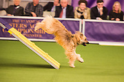 New York, NY - 8 February 2014. The Pyrenean shepherd Dash coming off the A-frame. The dogs must touch the contact area at the bottom of the A-frame in order to qualify.