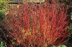 The red winters stems of Cornus alba 'Elegantissima'