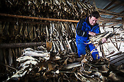 A man carries out stockfish pulled from drying racks in Å, Lofoten Islands, Norway.