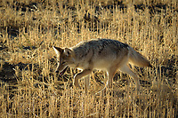 After hearing coyotes howling around me the previous evening, I was glad to see this one in the daylight. He was hunting for mice in this field at the edge of Grasslands National Park. Canadian coyotes are apparently much bigger than those further south. Since there was no one around I was able to back up my car and track along with the coyote and he barely noticed me.
