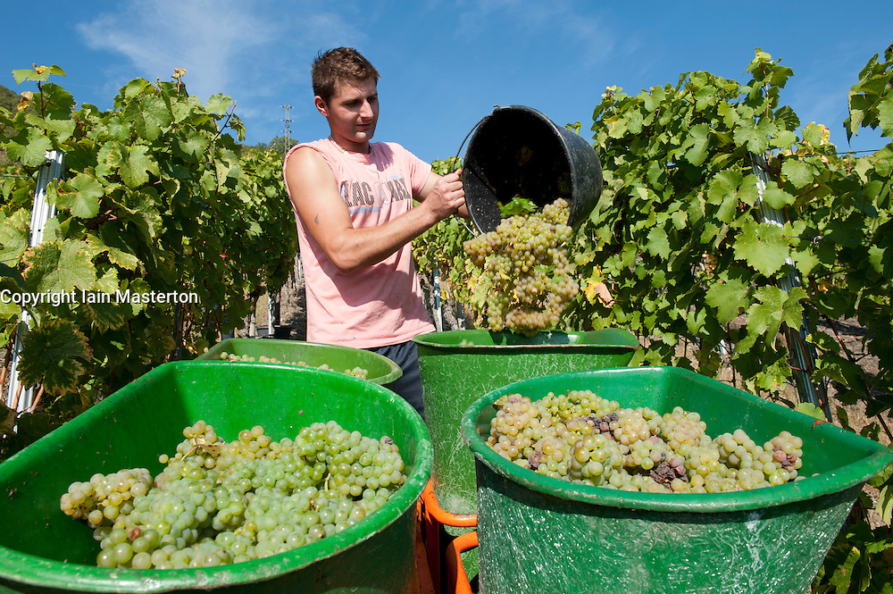 Harvesting Riesling grapes in Mosel Valley in Germany