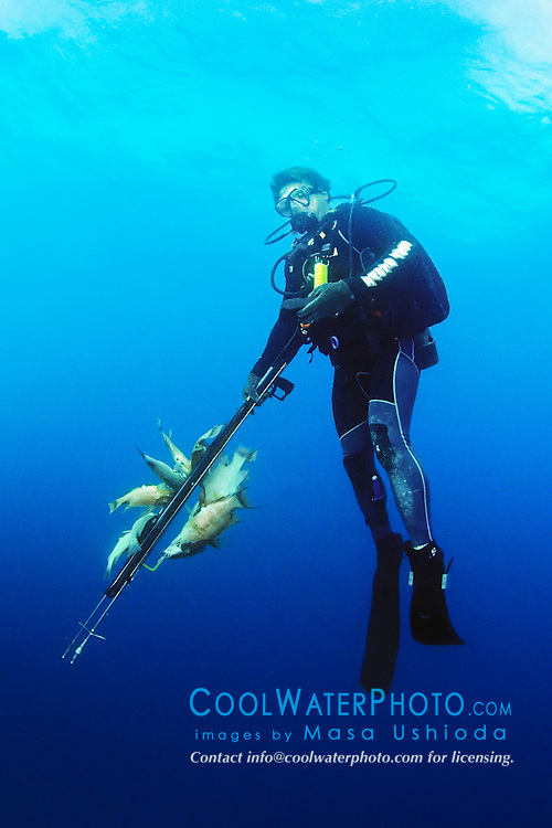 spearfisherman with good catches, using powerheads or bang sticks, off Tampa, Florida, USA, Gulf of Mexico, Caribbean Sea,  Atlantic Ocean, Model Released - MR#: 000012