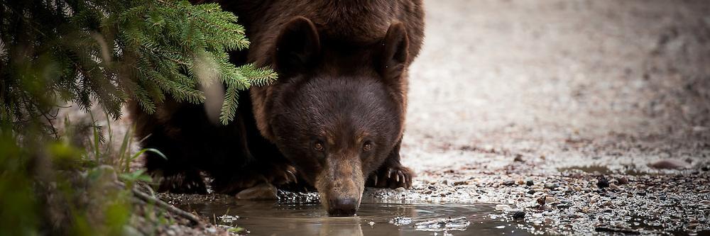 Black bear cub and sow, colour phase, Jasper National Park, Alberta, Canada