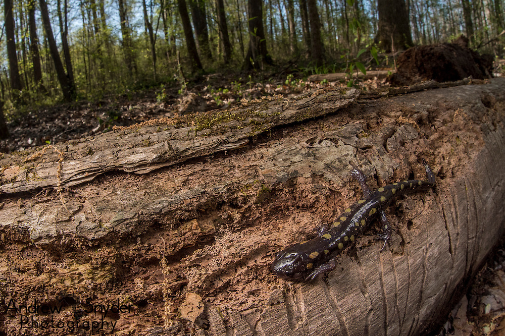 A spotted salamander (Ambystoma maculatum) moving along a rotting log - Water Valley, Mississippi