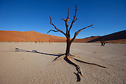 Dead Vlei is a clay pan located near the more famous salt pan of Sossusvlei in southwestern Namibia. Dead Vlei is surrounded by the highest sand dunes in the world, some reaching up to 300 meters, which rest on a sandstone terrace. The clay pan was formed after rainfall, when the Tsauchab river flooded, creating temporary shallow pools where the abundance of water allowed camel thorn trees to grow. When the climate changed, drought hit the area, and sand dunes encroached on the pan, which blocked the river from the area. The trees died, as there no longer was enough water to survive. Sossusvlei is a clay pan in the central Namib Desert, lying within the Namib-Naukluft National Park, Namibia. Fed by the Tsauchab River, it is known for the high, red sand dunes which surround it forming a major sand sea. Vegetation, such as the camelthorn tree, is watered by infrequent floods of the Tsauchab River, which slowly soak into the underlying clay. -Wikipedia
