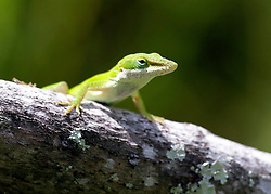 01 June 2015. Jean Lafitte National Historic Park, Louisiana.<br /> A green Anole lizard in the swamp at the Barataria Preserve wetlands south or New Orleans.<br /> Photo©; Charlie Varley/varleypix.com