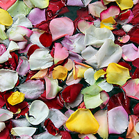 South America, Ecuador, Cayambe. Floating Rose Petals.