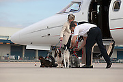 First class Fido: Dogs get their OWN £1,250 seats so they can sit beside their owners on airliners<br /> <br /> The passenger in the seat next to mine yawns contentedly as we taxi along the runway. <br /> He hardly stirs when the engines start to roar and the plane accelerates before lifting into the sky. <br /> By the time our sleek, six-seater jet reaches cruising height his head has dropped and his eyes have closed. <br /> <br /> During the two hour hop to Palma, on the island of Mallorca, where his family has a holiday home, my neighbour eschews his complimentary glass of Moet and Chandon champagne and is tempted neither by the inflight entertainment or the pile of glossy magazines.<br /> He looks every inch the high flyer – prosperous, self-assured, and remarkably well-groomed. My fellow passenger, Dylan, is a dog.<br /> <br /> He belongs to a new breed of pampered mutts who, rather than being confined to cages in the hold along with the cargo, sit in their own leather-upholstered seats in the cabin next to their owners.<br /> The service is being offered by Victor - a private jet charter company. It isn't a cheap option. <br /> Dylan, an eight-year-old miniature Schnauzer, is being charged £1,250 for a seat on a Victor flight to Palma, exactly the same as it costs humans using the service.<br /> And a seat is what he gets, not a space on the floor at the back of the plane near the lavatories, not a dedicated mat next to the exit. <br /> At one point, Dylan stares out of the window of the Lear40 jet and seems genuinely enthralled by the wispy cloud formation gathering a few hundred feet below. <br /> He enjoys the landing, too, as we soar over the Mediterranean and as buildings come into focus as the pilot makes his descent.<br /> 'How can you have a proper family holiday if you don't take the family dog with you?' asks Dylan's owner, Isabelle Frank, who live in Putney, south-west London. <br /> 'In the past we have put him in the hold but the trauma was terrib