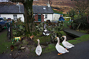 "Sarah Leggitt's estate cottage, a former Smithy with livestock near the coast at Lochbuie, Isle of Mull, Scotland. Sarah and her husband are, like many Mull inhabitants, of English birth. They moved from southern England 6 years ago to work for the Lochbuie Estate and the old Smithy is provided to them as living accommodation. Lochbuie is a settlement on the island of Mull in Scotland about 22 kilometres (14 mi) west of Craignure. The name is from the Scottish Gaelic Locha Buidhe, meaning ""yellow loch"". http://lochbuie.com/Lochbuie"