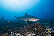 large female tiger shark, Galeocerdo cuvier, with a crooked jaw likely from fishing interaction and a remora or sharksucker attached to the lower jaw, swims over a reef with scuba divers in background, Honokohau, Kona, Big Island, Hawaii, USA ( Central Pacific Ocean )
