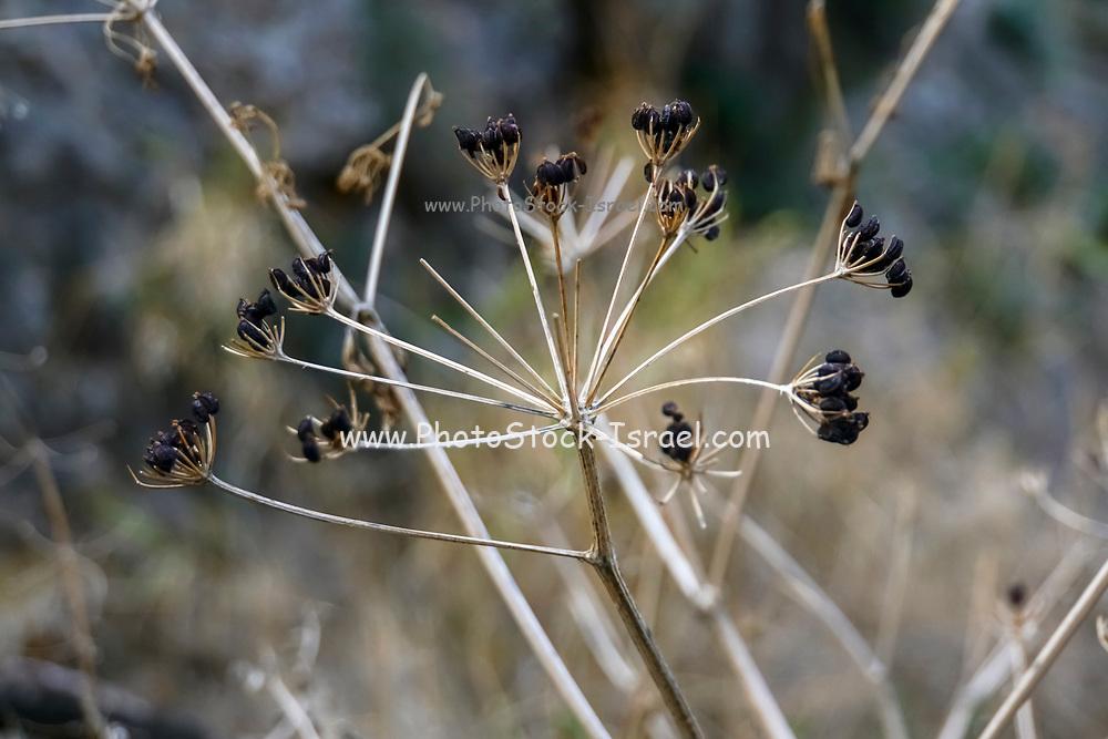 Wildflower dries up to a dry thorny shrub