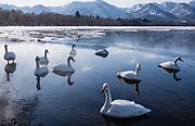 Japanese Whooper swans (Cygnus cygnus), Lake Kussharo, Hokkaido, Japan
