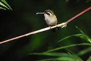 Ecuador, May 23 2010: Speckled Hummingbird (Adelomyia m. melanogenys). Images from Cabanas San Isidro. Copyright 2010 Peter Horrell