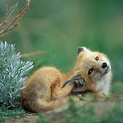 Red Fox, (Vulpus fulva) Portrait of young pup near den,curled up scratching self. Spring.