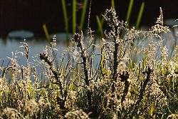 Kale jonker, Cirsium palustre