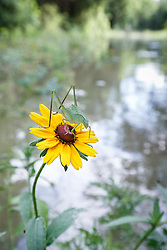 Katydid on clasping coneflower at Buckeye Trail after Trinity River flood, William Blair Park, Great Trinity Forest, Dallas, Texas, USA