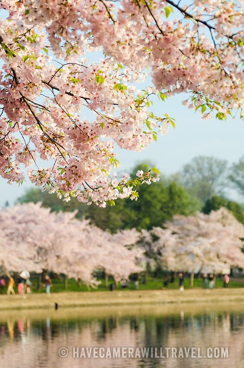 Washington DC's scenic cherry blossoms on a still early morning.