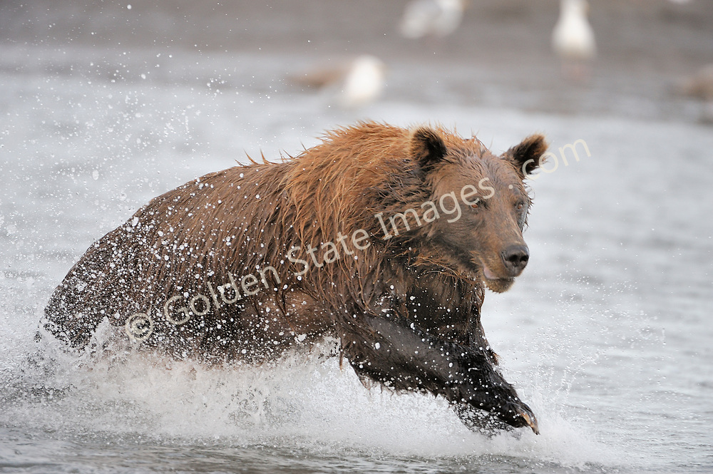 A sow works hard to catch salmon at near high tide.    <br /> <br /> Brown Bears and Grizzly Bears are the same species. In general Bears living within 50 miles of the coast are considered browns. Animals living further inland are considered Grizzlies.  <br /> <br /> Grizzlies are omnivores feeding on a variety of plants berries roots and grasses in addition to fish insects and small mammals. Salmon are a key part of their diet. Normally a solitary animal they will congregate along streams and rivers during Salmon runs. Weight to over 1200 pounds.    <br />  <br /> Range: Native to Asia Africa Europe and North America. Now extinct in much of their original range.    <br />   <br /> Species: Ursus arctos