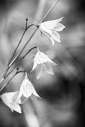 Not so blue, Scotch Blue Bel,l a wildflower of the Grand Tetons