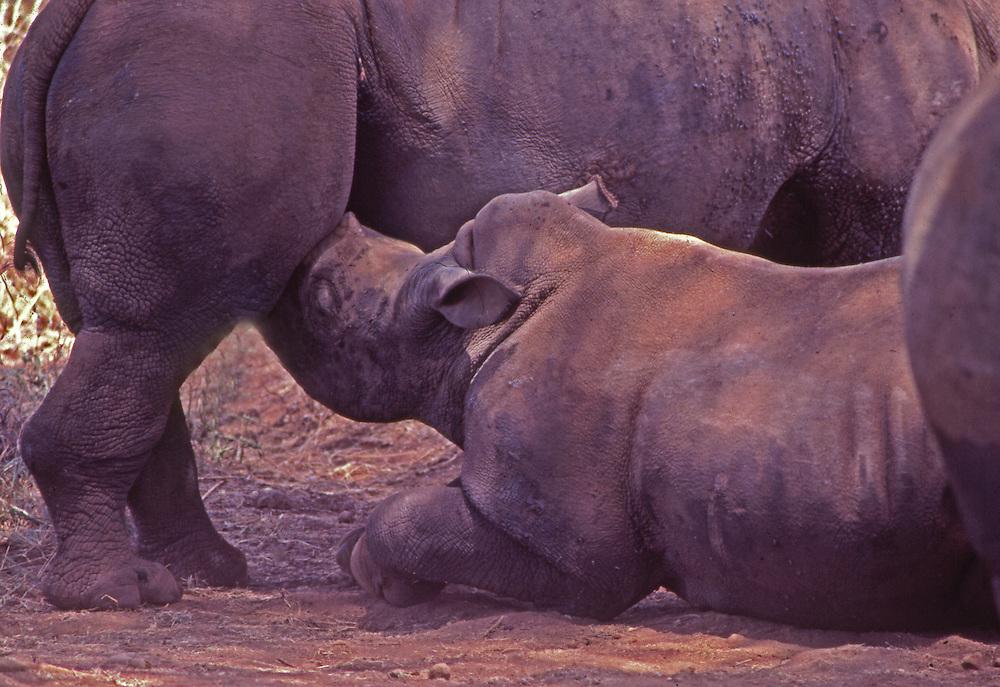Rhino mother and cub, African wildlife, Kenya, Maasai Mara National Park