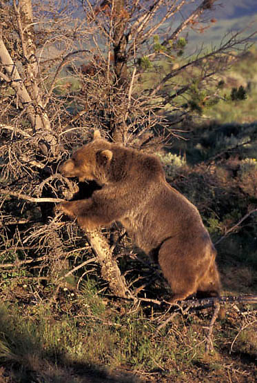 Grizzly Bear, (Ursus horribilis) Montana. Grizzly bear pushing tree.  Captive Animal.