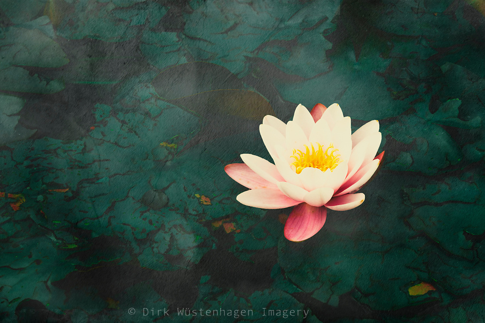 Water lily blosssom on a pind - textured photograph